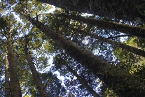 northland_kauri_forest